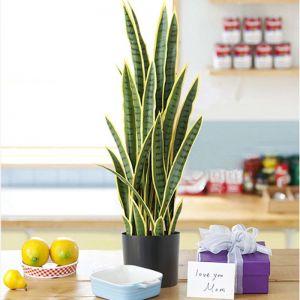 70cm Artificial Indoor Yellow Edge Tiger Piran Fake Decoration Tree Flower Pot Plant