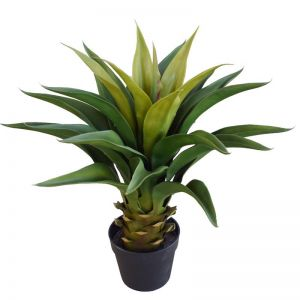 Agave 60cm Plant in Pot