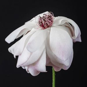 Allessia | Limited Edition Fine Art Botanical Print by Christa Lopez White