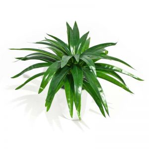 Aloe Vera Stem | 30cm