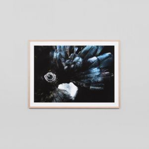 Banks Black Cockatoo   Framed Photographic Print   By Matthew Thomas