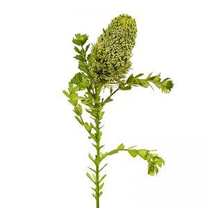 Banksia Bud with Leaf