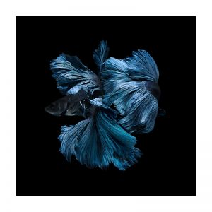 Betta | Canvas Print