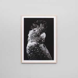 Black Cockatoo Grey | Framed Print