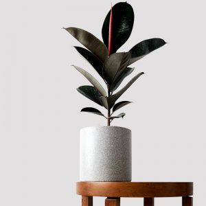 Burgundy Rubber Tree & Pot