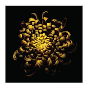 Chrysanthemum | Prints and Canvas by Photographers Lane