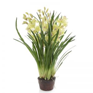 Cymbidium in Giant Paper Pot | Green