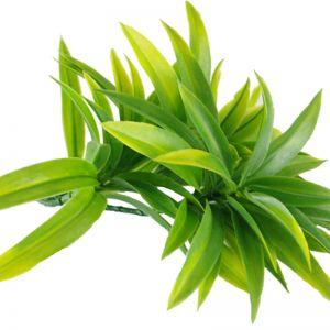 Dracaena Yucca Stem | UV Resistant | 30cm
