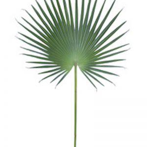 Fan Palm Leaf Lge x 6 stems