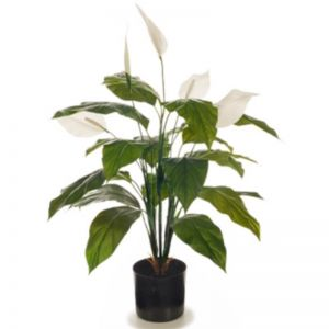 Flowering Spathiphyllum Lily | Peace Lily Plant | 70cm