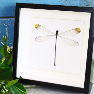 Framed Wall Art Giant Damselfly   by Bits'n Bugs