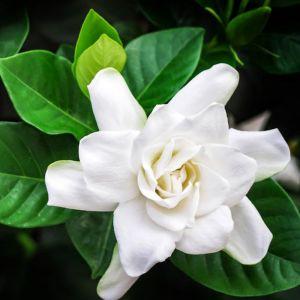 Gardenia augusta Magnifica