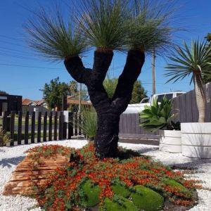 Grasstree (xanthorrhoea preissii)
