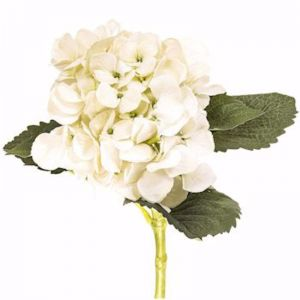Hydrangea Water   Cream   12 Stems