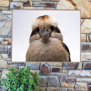 Kookaburra - Fluffy Cheeks | Framed Photograph by Amelia Anderson