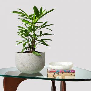 Lady Palm + Pot