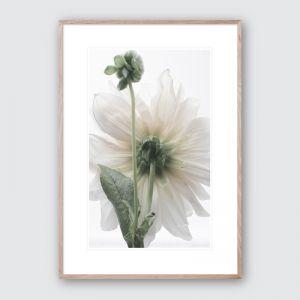Oh Dahlia 3   Limited Edited Framed Giclee Art Print