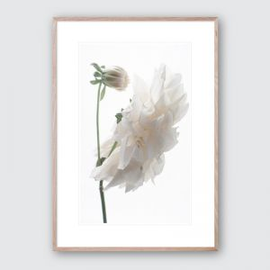 Oh Dahlia no.2   Limited Edition Framed Giclee Art Print