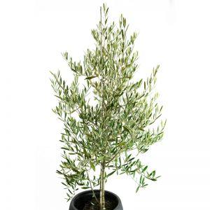 Olive europaea 'Tolley's Upright'   Allgreen Nursery & Garden