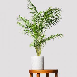 Parlour Palm + Pot