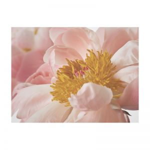 Peony in Bloom | Rolled Art Print | Various Sizes
