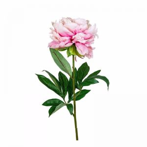 Peony Regal | Large with 3 leaves | Light Pink - 12 Stems