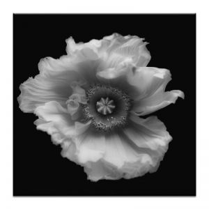 Poppy in Mono | Prints and Canvas by Photographers Lane