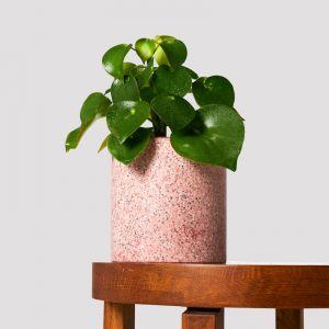 Raindrop Peperomia + Pot