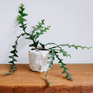 Ric Rack Cactus (Selenecerius Anthonyanus)