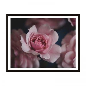 Rose | Framed Print | Artefocus