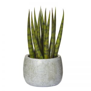 Snake Tail Plant