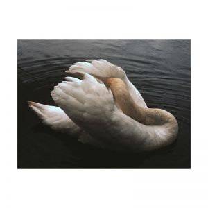 Swan | Fine Art Photographic Print | Unframed | Sloane Pringle Photography