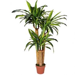 Artificial Dracaena Fragrans | 130cm