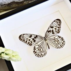 Framed Black and White Rice Paper Butterfly   by Bits'n Bugs