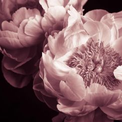 Peonies Aperta   Stretched Canvas/ Printed Panel