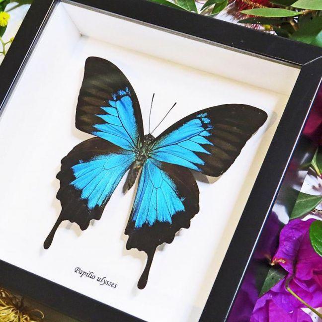 Dunk Island Australia: Australian Real Blue Papilio Ulysses Dunk Island Butterfly