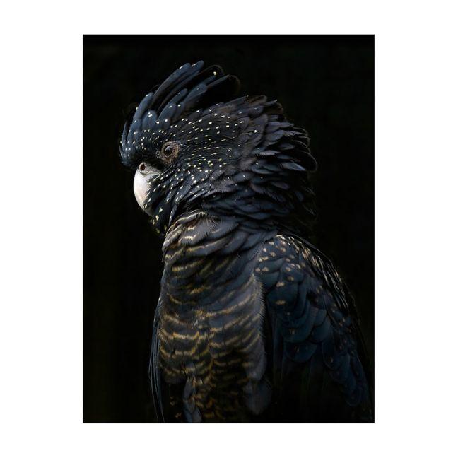 Black Cockatoo   Rolled Art Print   Various Sizes