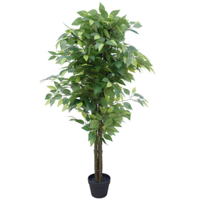 Bushy Ficus Tree | 140cm | Dark Trunk
