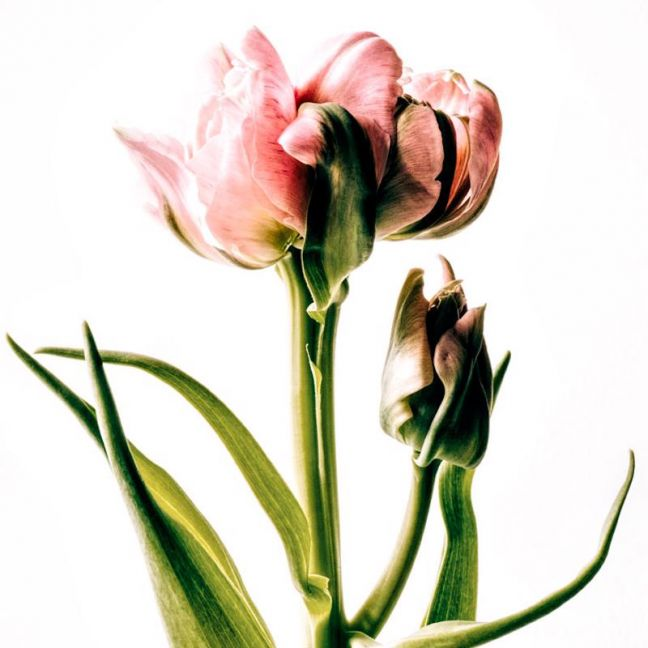 Eleanor | Limited Edition Fine Art Botanical Print by Christa Lopez White