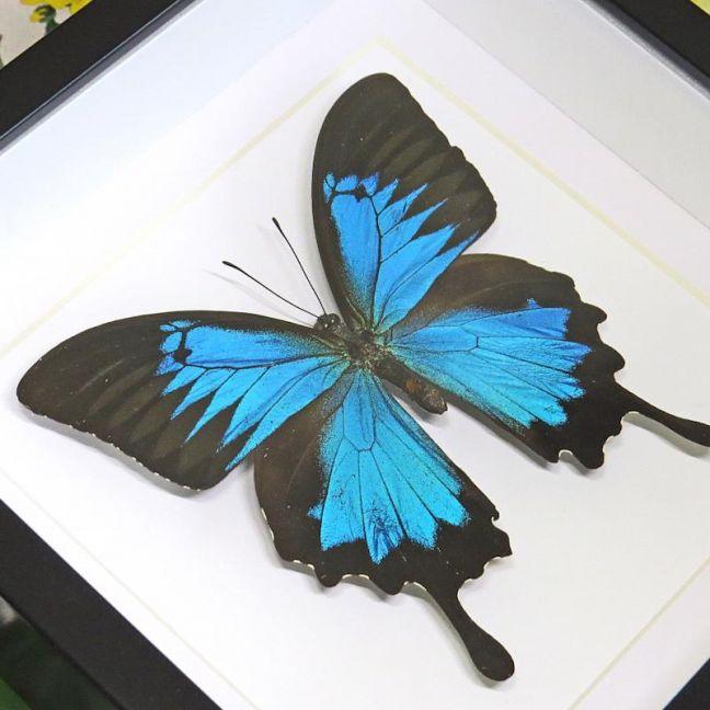 Dunk Island Australia: Framed Dunk Island Butterfly Australian Papilio Ulysses By