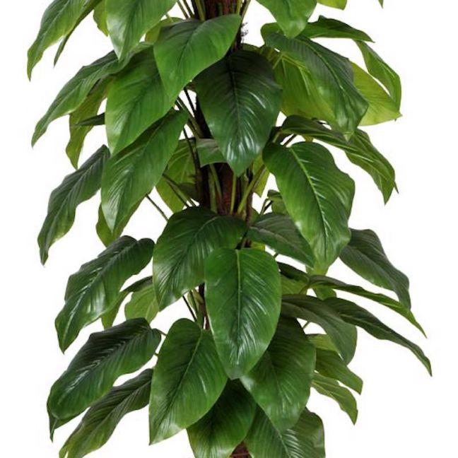 Money Plant | Aureus | 155cm