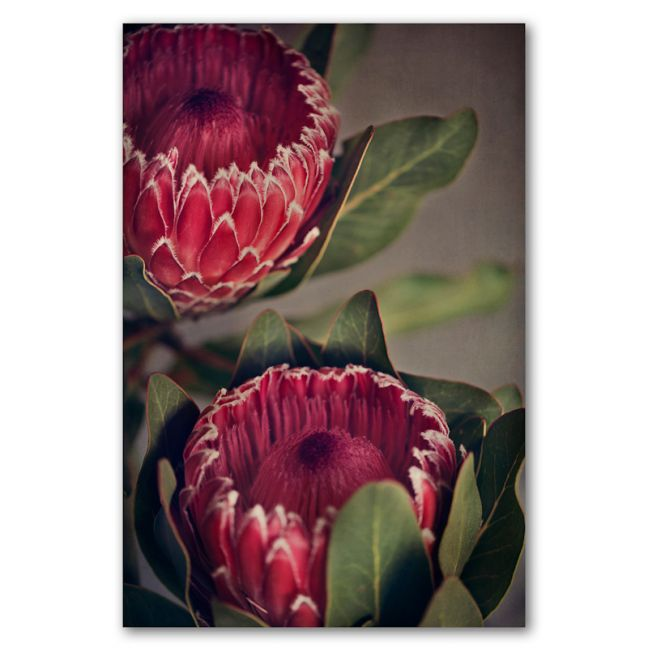 Red Protea 2 | Art print by Natascha van Niekerk | Unframed