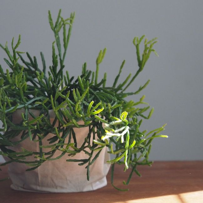 Rhipsalis Ewaldians | Indoor Plant