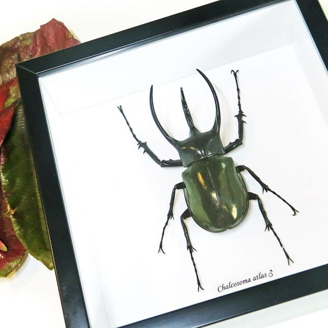 Taxidermy framed insect Rhino Beetle | by Bits'n Bugs